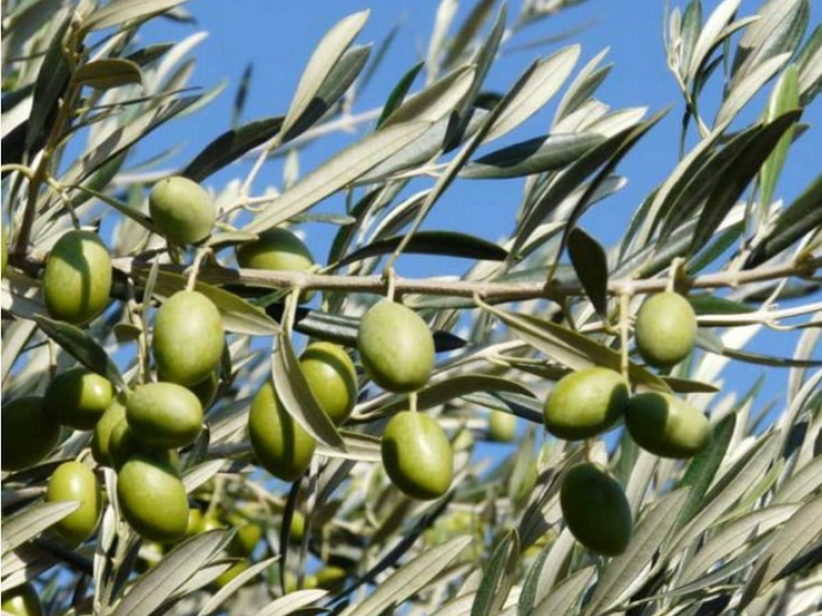 olives-10